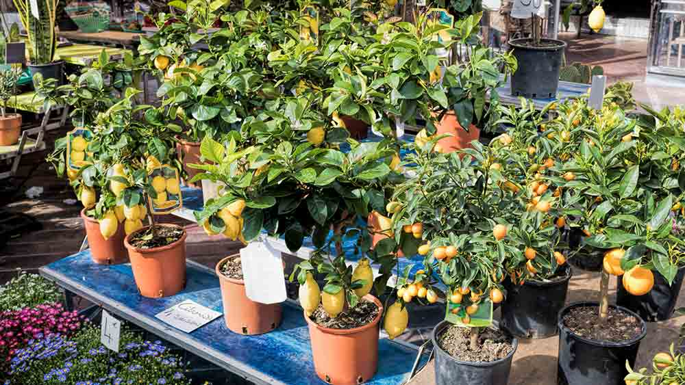 Lemon Trees in Cours Saleya, Nice