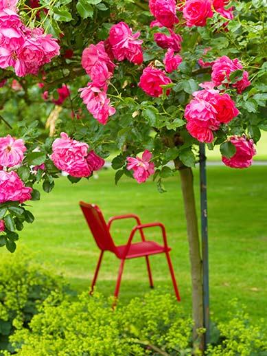 Rose garden Westfalenpark in Dortmund