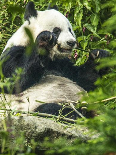 Panda wielka w zoo w Edynburgu
