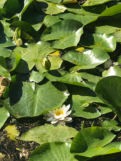 Lilypond in Harewood House