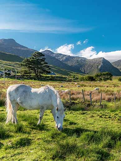 Connemara Pony in Galway