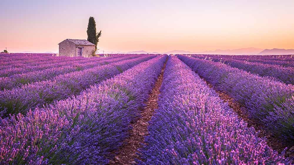 Lavendar fields in France