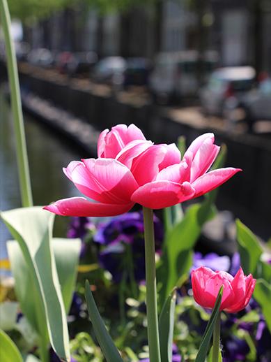 Dutch tulips in Gouda