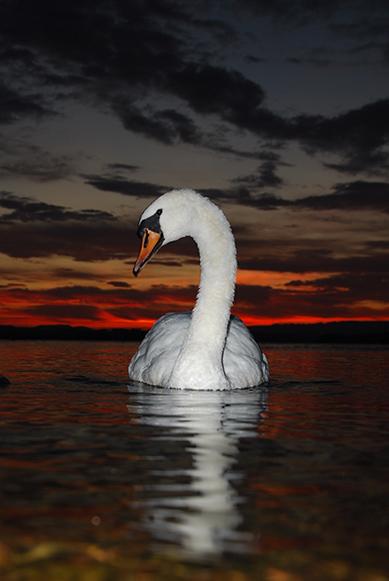 Swan in County Fermanagh