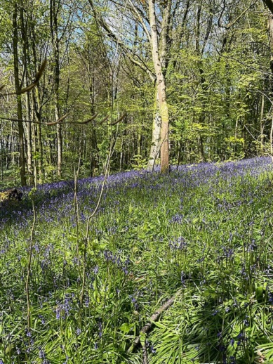 Bluebells in Portglenone Forest - Northern Ireland